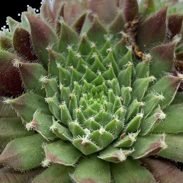 Sempervivum 'Pilatus'