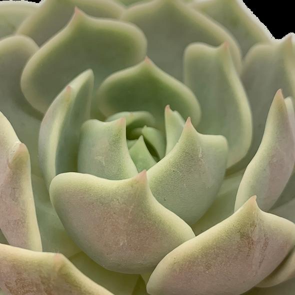 Echeveria 'Lola' [medium]