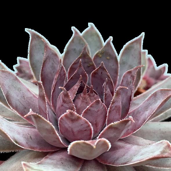 Sempervivum tectorum 'Purple Beauty'