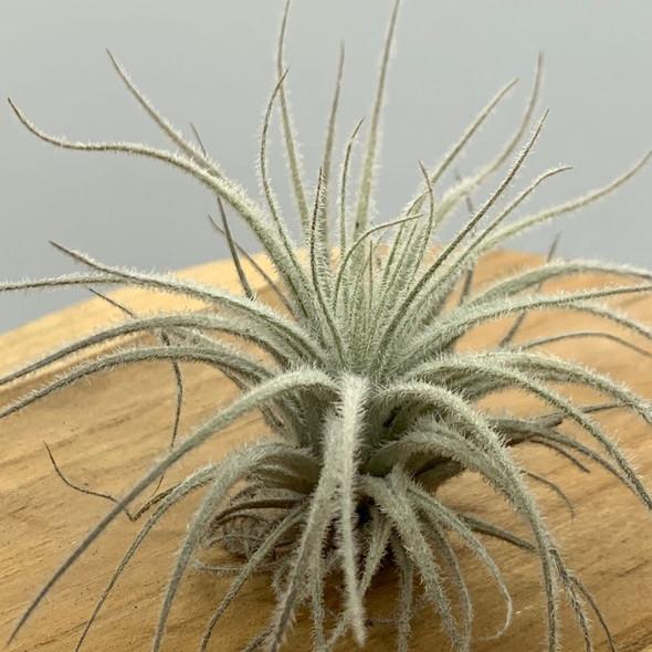 Tillandsia tecorum