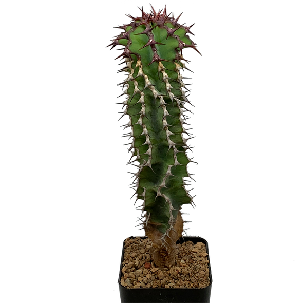 Euphorbia 'not virosa'