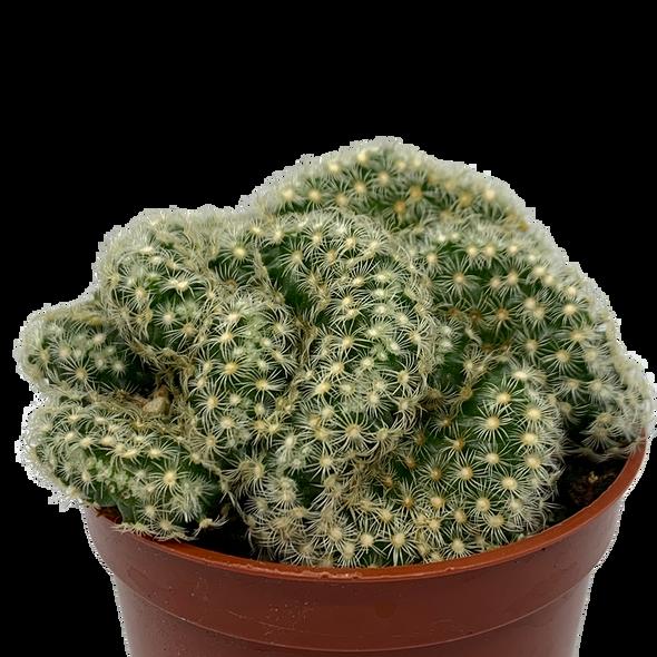 "Mammillaria elongata f. cristata ""Brain Cactus"""