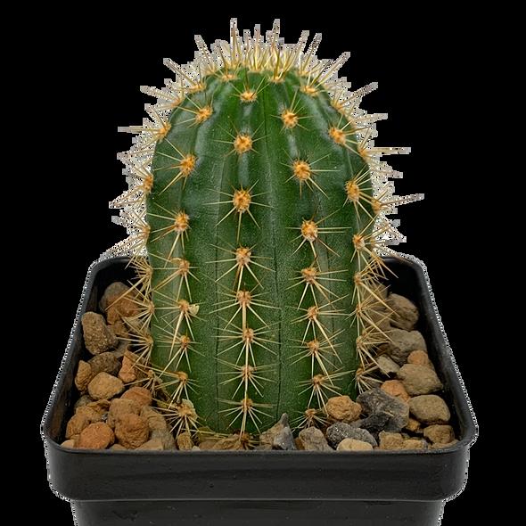 Trichocereus (Echinopsis) grandiflorus hybrid 'Flying Saucer'