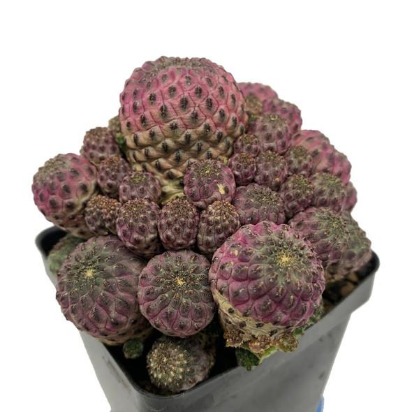 Sulcorebutia rauschii f. Violacidermis (large cluster)