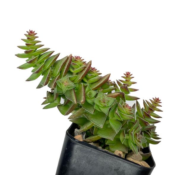 "Crassula capitella ssp thyrsiflora ""Red Pagoda"""