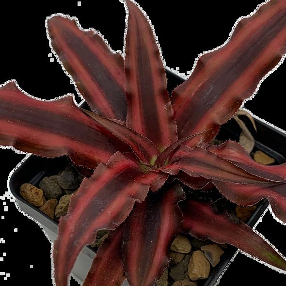 Cryptanthus bivittatus