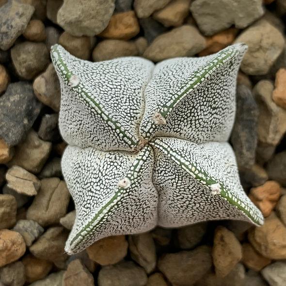 Astrophytum myriostigma 'Onzuka' 4-sided