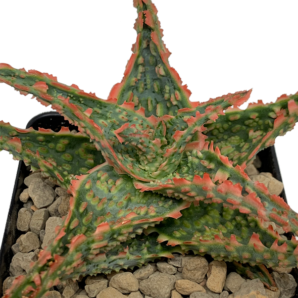 Aloe 'Oik'