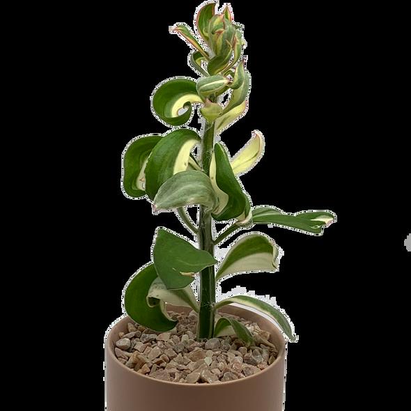Pereskiopsis spathulata variegata