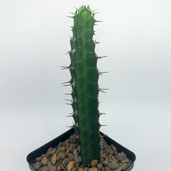 Euphorbia tescorum East Austin Succulents