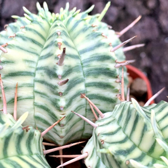 Euphorbia meloformis variegata