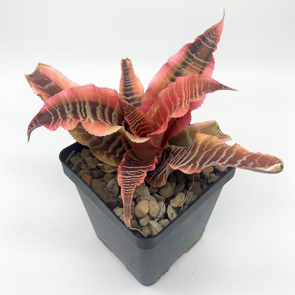 Cryptanthus fosterianus 'Elaine'