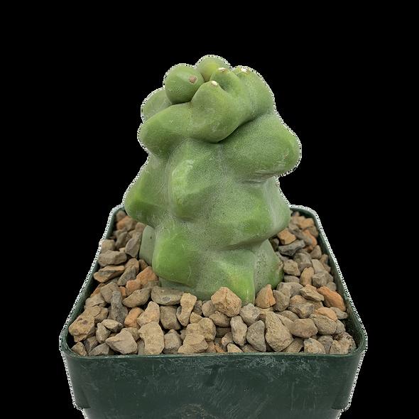 """Lophocereus schottii monstrose """"Totem Pole Cactus"""""""