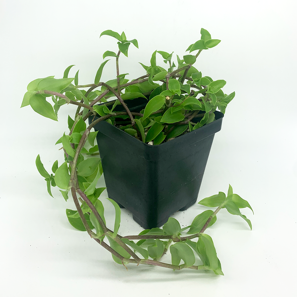 Callisia cordifolia East Austin Succulents