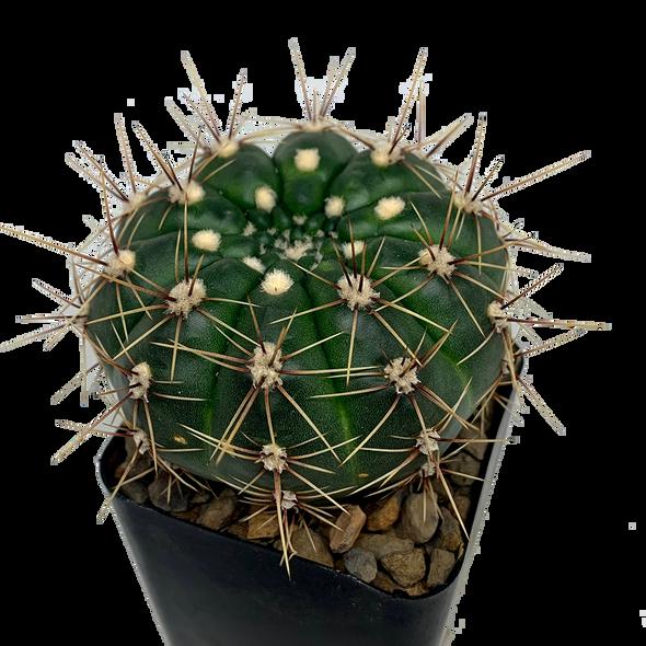 Gymnocalycium reductum var. schatzlianum