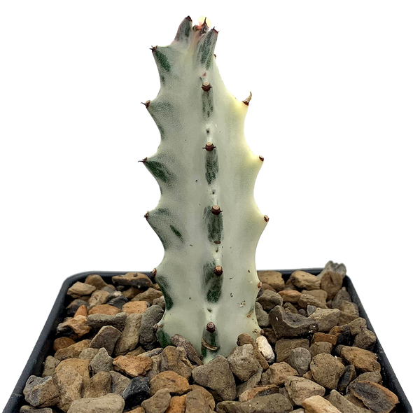 Euphorbia lactea 'White Ghost' [Small]