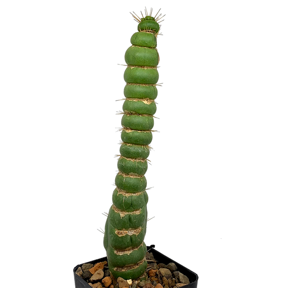 Eulychnia castanea f. varispiralis [Small]