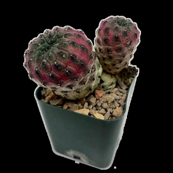 Sulcorebutia rauschii f. violacidermis [Small]