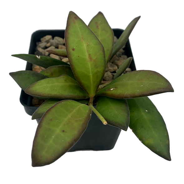 Hoya bilobata
