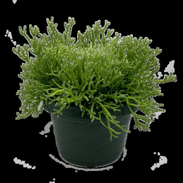 "Rhipsalis cereuscula ""Coral Cactus"" [XL]"