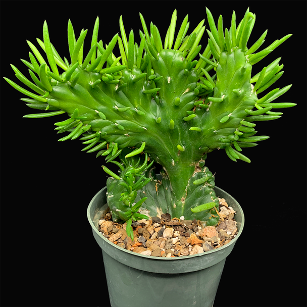 Austrocylindropuntia subulata cristata 'Gumby'