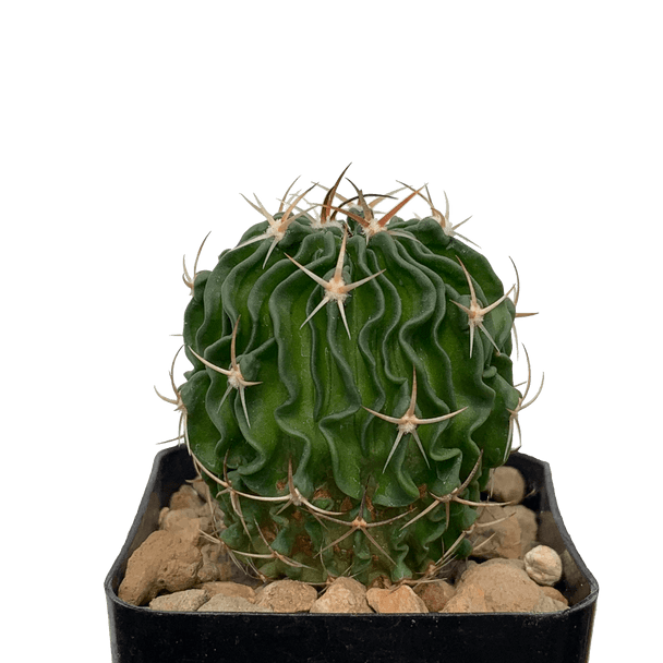 Echinofossulocactus phyllacanthus / Stenocactus phyllacanthus