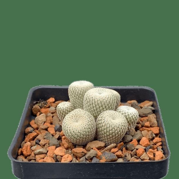 Epithelantha micromeris [large]