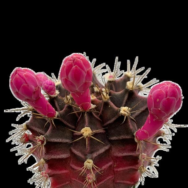 "Gymnocalycium mihanovichii Purple & Pink ""Moon Cactus"""