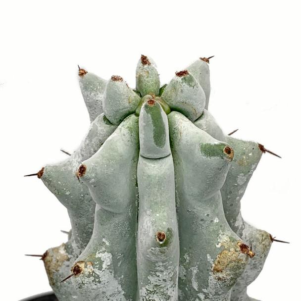 Stenocereus beneckei