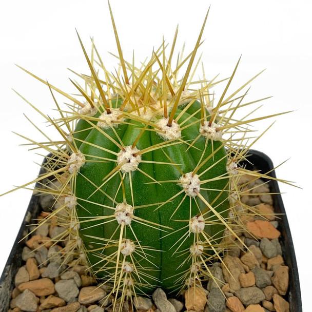 "Trichocereus (Echinopsis) candicans ""Argentine Giant"""