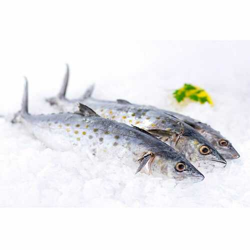 Spanish Mackerel 6 Lb. Avg (2-6 Fish)