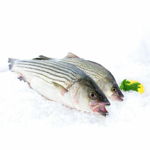 Striped Bass 6 Lb. Avg (2-3 Fish)