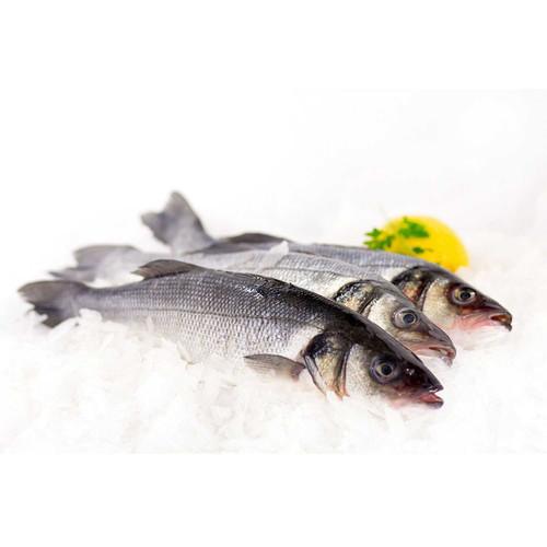 Bronzini 6 Lb. Avg (3-7 Fish)