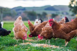 Free Range and Cage Free Differences