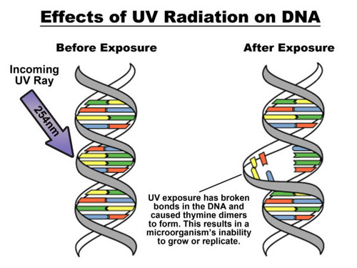 Effects of UV Radiation on DNA