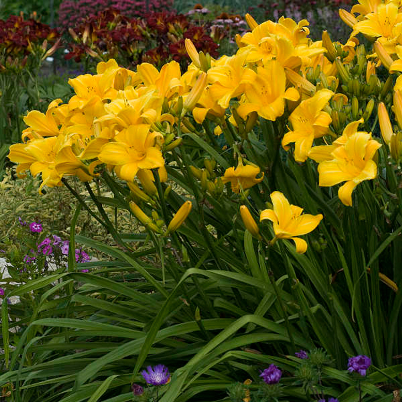 Hemerocallis 'Buttered Popcorn' Photos courtesy of Walters Gardens, Inc.