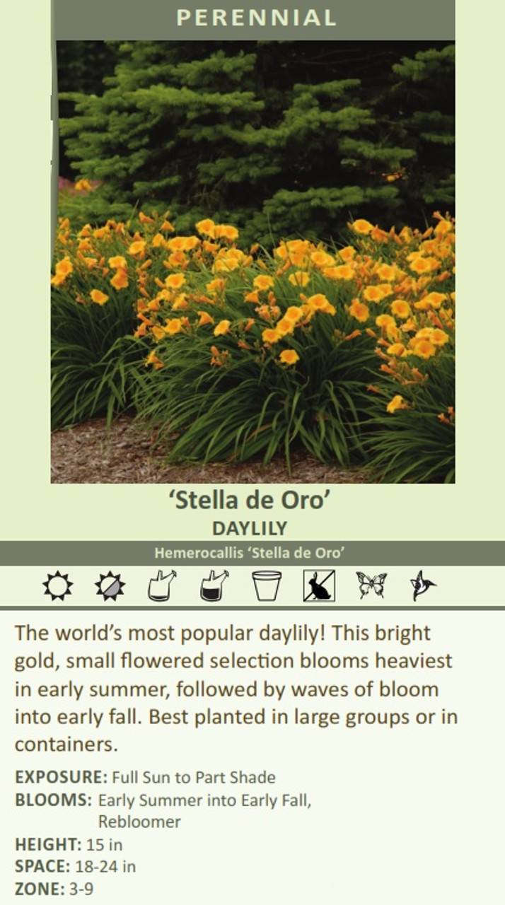 Stella de Oro DAYLILY Hemerocallis Stella de Oro The worlds most popular daylily! This bright gold, small flowered selection blooms heaviest in early summer, followed by waves of bloom into early fall. Best planted in large groups or in containers.  EXPOSURE: Full Sun to Part Shade BLOOMS:  Early Summer into Early Fall,   Rebloomer HEIGHT: 15 in SPACE: 18-24 in ZONE: 3-9