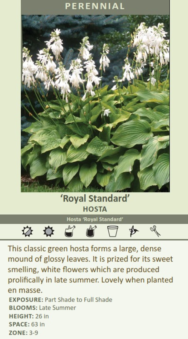Royal Standard HOSTA Hosta Royal Standard This classic green hosta forms a large, dense mound of glossy leaves. It is prized for its sweet EXPOSURE: Part Shade to Full Shade BLOOMS: HEIGHT: 26 in SPACE: 63 in ZONE: 3-9