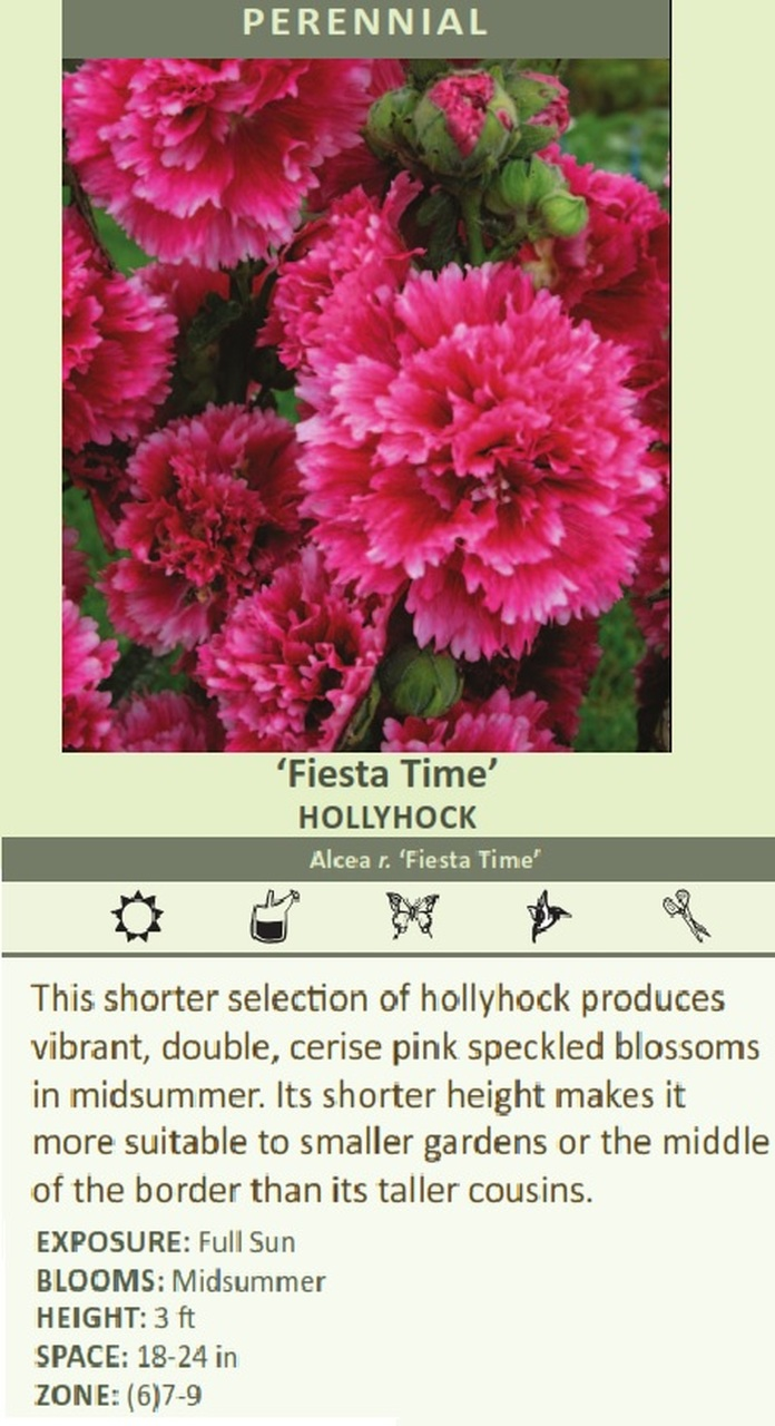 Fiesta Time' HOLLYHOCK Alcea r. 'Fiesta Time' This shorter selection of hollyhock produces vibrant, double, cerise pink speckled blossoms in midsummer. Its shorter height makes it more suitable to smaller gardens or the middle of the border than its taller cousins. EXPOSURE: Full Sun BLOOMS: Midsummer HEIGHT: 3 ft SPACE: 18-24 in ZONE: (6)7-9