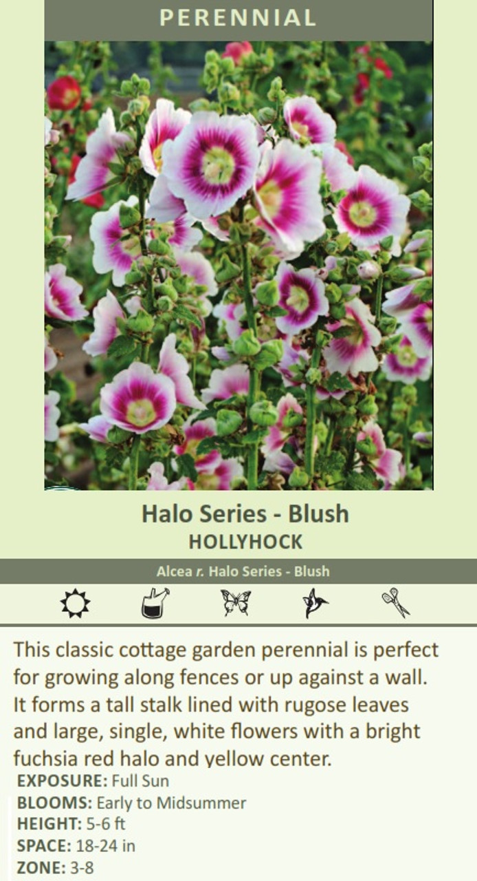 Halo Series - Blush HOLLYHOCK Alcea r. Halo Series - Blush This classic cottage garden perennial is perfect for growing along fences or up against a wall. It forms a tall stalk lined with rugose leaves and large, single, white flowers with a bright fuchsia red halo and yellow center.   EXPOSURE: Full Sun BLOOMS: Early to Midsummer HEIGHT: 5-6 ft SPACE: 18-24 in ZONE: 3-8