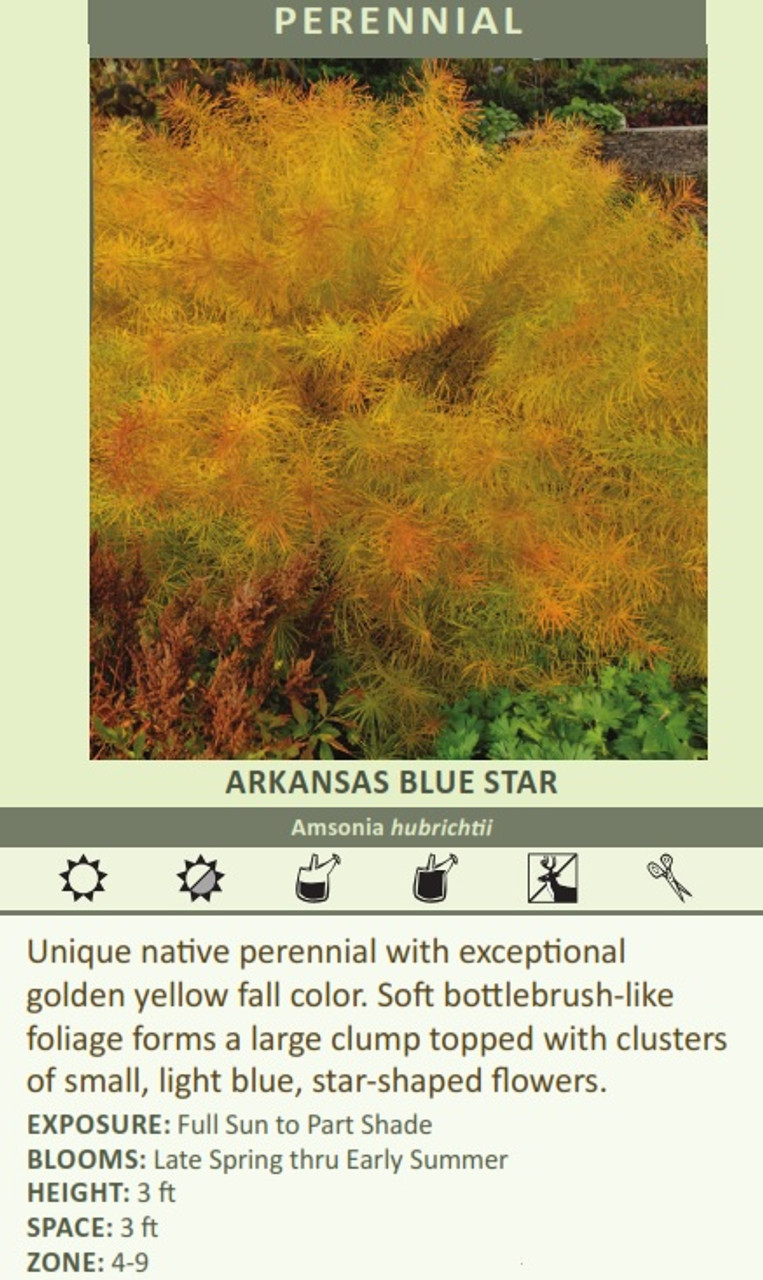 ARKANSAS BLUE STAR Amsonia hubrichtii Unique native perennial with exceptional golden yellow fall color. Soft bottlebrush-like foliage forms a large clump topped with clusters of small, light blue, star-shaped flowers. EXPOSURE: Full Sun to Part Shade BLOOMS: Late Spring thru Early Summer HEIGHT: 3 ft SPACE: 3 ft ZONE: 4-9