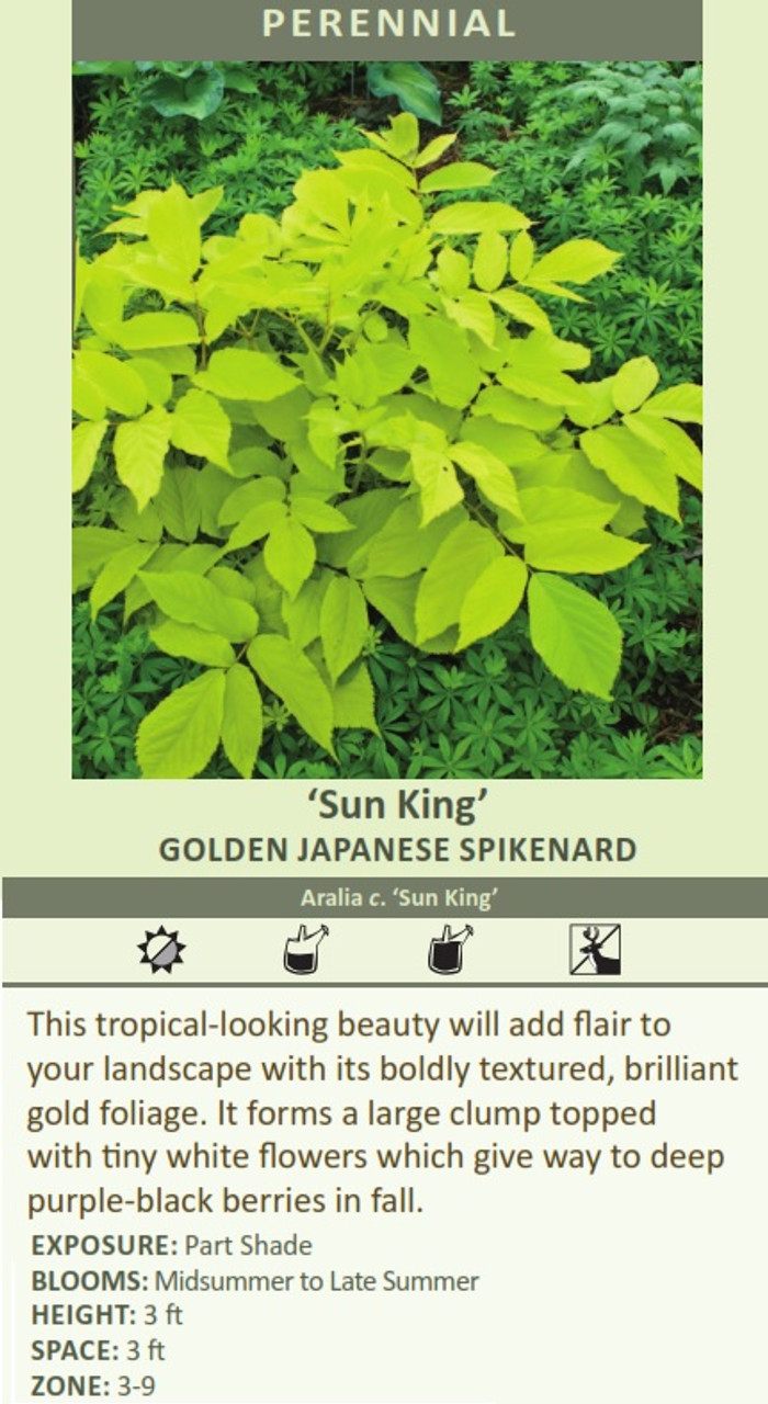 'Sun King' GOLDEN JAPANESE SPIKENARD Aralia c. 'Sun King' This tropical-looking beauty will add flair to your landscape with its boldly textured, brilliant gold foliage. It forms a large clump topped with tiny white flowers which give way to deep purple-black berries in fall. EXPOSURE: Part Shade BLOOMS: Midsummer to Late Summer HEIGHT: 3 ft SPACE: 3 ft ZONE: 3-9