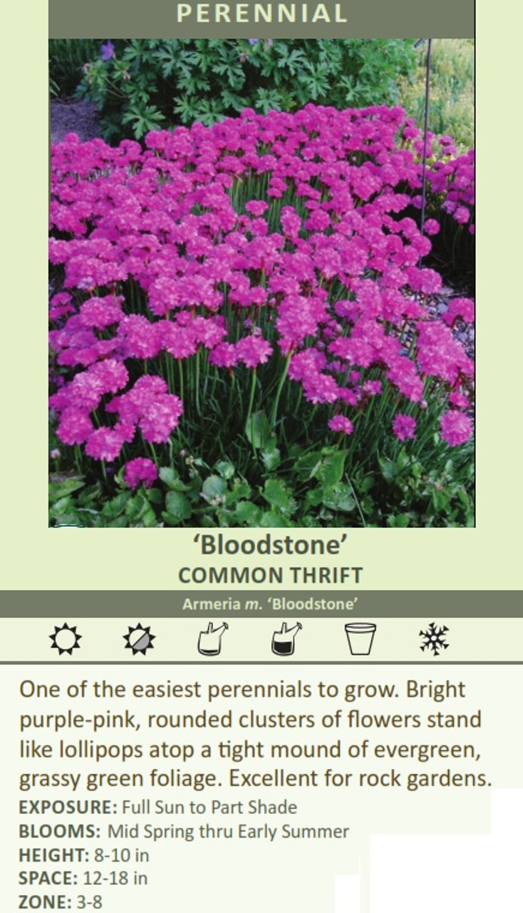 'Bloodstone' COMMON THRIFT Armeria m. 'Bloodstone' One of the easiest perennials to grow. Bright purple-pink, rounded clusters of flowers stand like lollipops atop a tight mound of evergreen, grassy green foliage. Excellent for rock gardens. EXPOSURE: Full Sun to Part Shade BLOOMS: Mid Spring thru Early Summer HEIGHT: 8-10 in SPACE: 12-18 in ZONE: 3-8