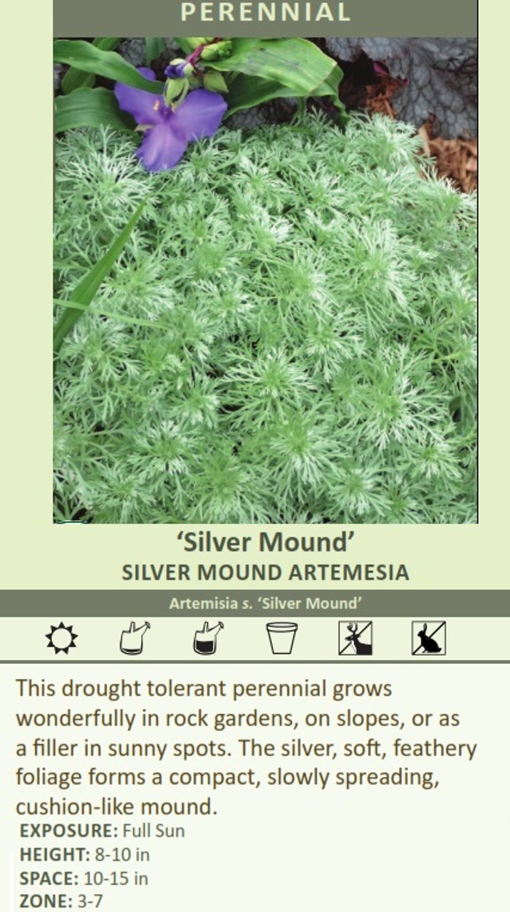 'Silver Mound' SILVER MOUND ARTEMESIA Artemisia s. 'Silver Mound' This drought tolerant perennial grows wonderfully in rock gardens, on slopes, or as a filler in sunny spots. The silver, soft, feathery foliage forms a compact, slowly spreading, cushion-like mound. EXPOSURE: Full Sun HEIGHT: 8-10 in SPACE: 10-15 in ZONE: 3-7