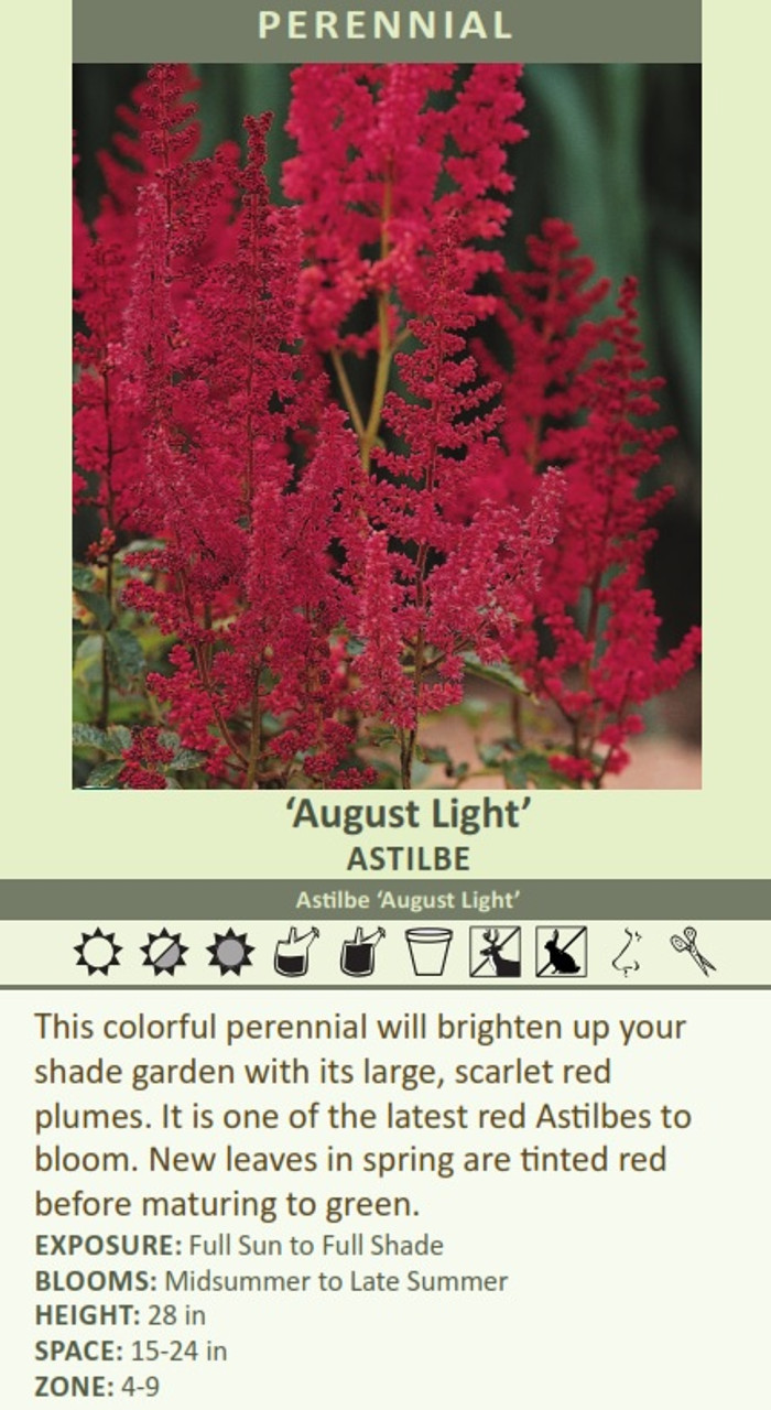 August Light' Astilbe Astilbe 'August Light' This colorful perennial will brighten up your shade garden with its large, scarlet red plumes. It is one of the latest red Astilbes to bloom. New leaves in spring are tinted red before maturing to green. EXPOSURE: Full Sun to Full Shade BLOOMS: Midsummer to Late Summer HEIGHT: 28 in SPACE: 15-24 in ZONE: 4-9
