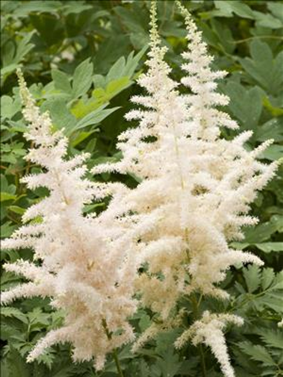 Astilbe chinensis 'Milk and Honey'