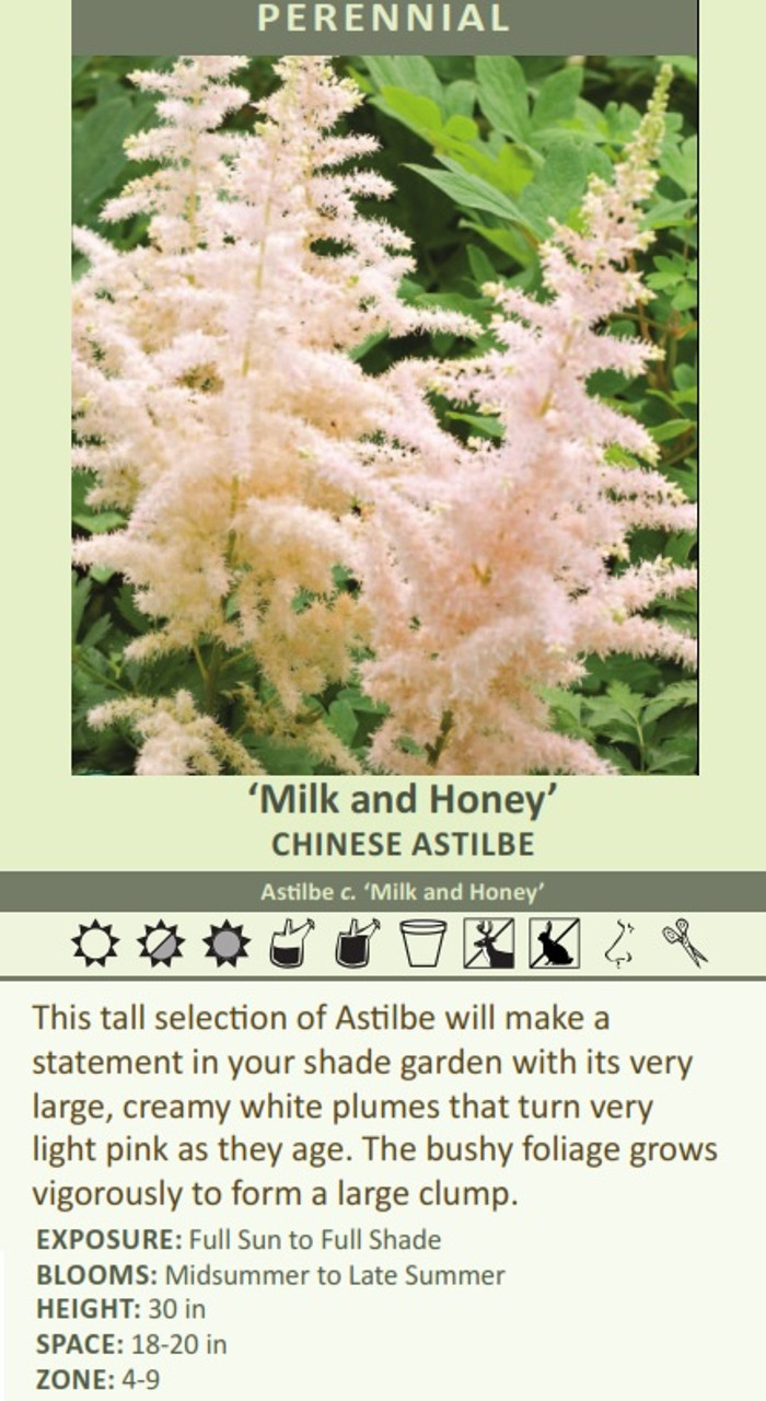 Milk and Honey' CHINESE Astilbe Astilbe c. 'Milk and Honey' This tall selection of Astilbe will make a statement in your shade garden with its very large, creamy white plumes that turn very light pink as they age. The bushy foliage grows vigorously to form a large clump. EXPOSURE: Full Sun to Full Shade BLOOMS: Midsummer to Late Summer HEIGHT: 30 in SPACE: 18-20 in ZONE: 4-9