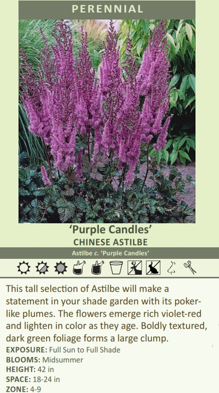 Purple Candles' CHINESE Astilbe Astilbe c. 'Purple Candles' This tall selection of Astilbe will make a statement in your shade garden with its poker like plumes. The flowers emerge rich violet-red and lighten in color as they age. Boldly textured, dark green foliage forms a large clump. EXPOSURE: Full Sun to Full Shade BLOOMS: Midsummer HEIGHT: 42 in SPACE: 18-24 in ZONE: 4-9