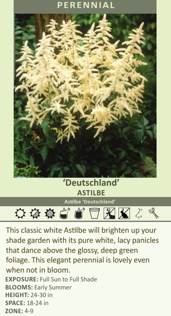 Deutschland' Astilbe Astilbe 'Deutschland' This classic white Astilbe will brighten up your shade garden with its pure white, lacy panicles that dance above the glossy, deep green foliage. This elegant perennial is lovely even when not in bloom. EXPOSURE: Full Sun to Full Shade BLOOMS: Early Summer HEIGHT: 24-30 in SPACE: 18-24 in ZONE: 4-9