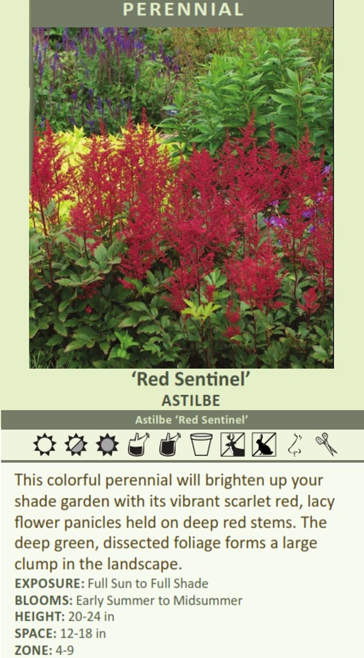 Red Sentinel' Astilbe Astilbe 'Red Sentinel' This colorful perennial will brighten up your shade garden with its vibrant scarlet red, lacy flower panicles held on deep red stems. The deep green, dissected foliage forms a large clump in the landscape.  EXPOSURE: Full Sun to Full Shade BLOOMS: Early Summer to Midsummer HEIGHT: 20-24 in SPACE: 12-18 in ZONE: 4-9